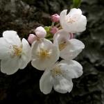 Spring Blossom - Rosemary DeLucco Alpert